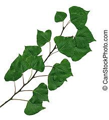 poplar, ramo