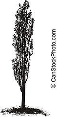 Poplar Tree - Black silhouette Poplar Tree on white...