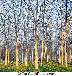 Poplar tree forest in winter. Emilia, Italy