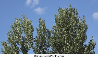 Poplar tree top sliding camera against blue sky - Poplar...