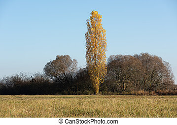 Poplar Tree with fall colours during autumn in the french ...