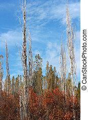 Poplar Trees in Fall