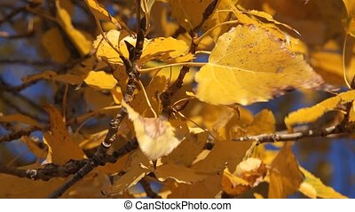 Poplar treetop branches with leaves on wind, yellow leaves...