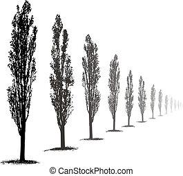 Poplars Trees - Silhouette Poplar Trees on white background...