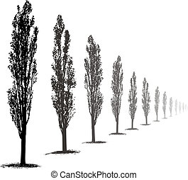 Poplars Trees - Silhouette Poplar Trees on white background