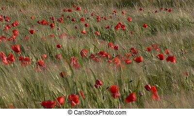 poppies among green wheat