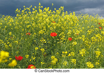 Poppies and ripeseed