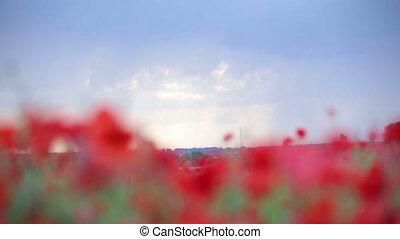 Poppies. Background