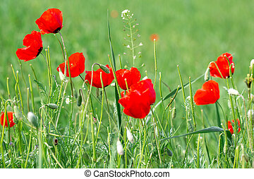 Poppies Beautiful flowering meadow of poppies in the rays of the setting sun. Blooming red poppies flowers in green grass. Beautiful spring and summer natural background.