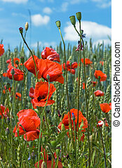 Poppies blooming on the field