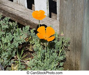 California poppies growing by a fence