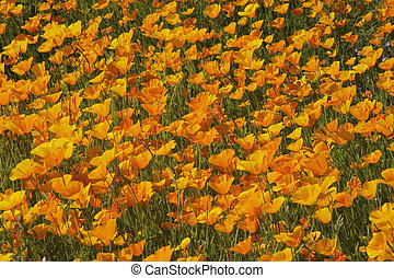 California poppies (Eschscholzia californica) in spring. These brilliant annuals are native to the southern and western states of America.