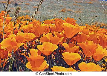 cluster of california poppies in spring, Eschscholzia californica