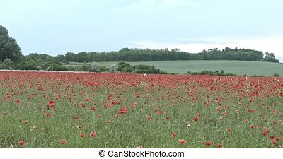 Poppies field in evening. Time lapse video