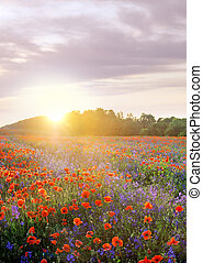 poppies field on evening sky and sunlights