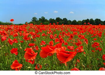 Red poppies and blue sky, focus on nearest flowers.