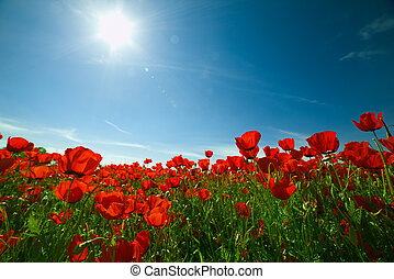 Poppies field with blue sky and sun. Beautiful landscape.