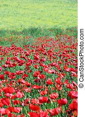 poppies flower field rural landscape