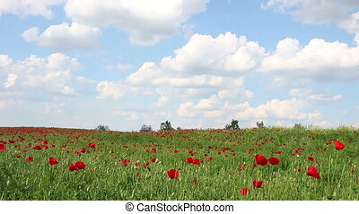 poppies flower meadow and blue sky with cloud landscape