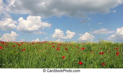 poppies flower meadow landscape