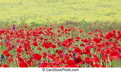 poppies flower meadow spring season