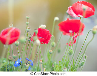 Poppies flowers on summer meadow. Soft focus nature background