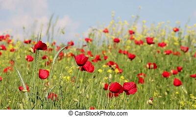 poppies flowers on windy field