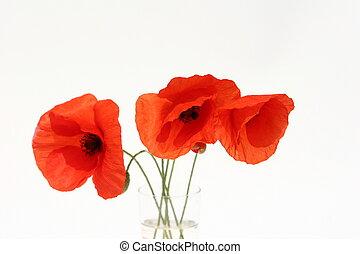 Poppies - flowers