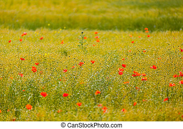 poppies in a field of flax