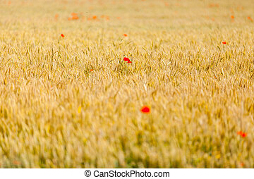 poppies in a field of wheat