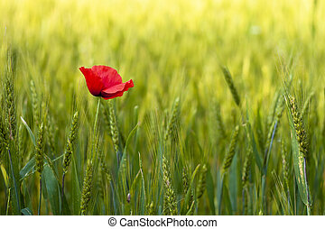 Poppies in a green wheat field.
