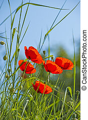 Poppies in a meadow with a blue sky
