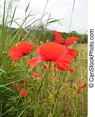 poppies in a wheat field