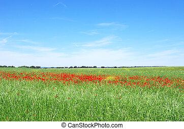 Poppies in field of alentejo region, Portugal.
