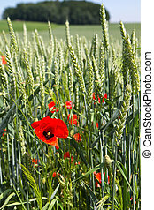 Poppies in front of a Wheat field in Bavaria, Germany