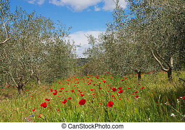 Poppies in Olive Grove