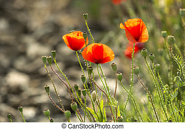 Poppies in Piedmont