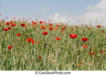 Poppies in the field