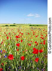 Poppies in wheat field.