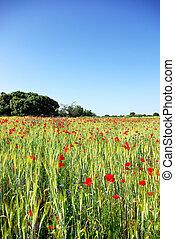 Poppies in wheat field .
