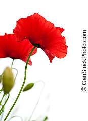 poppies isolated on white