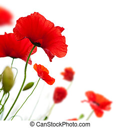 poppies isolated on white - many red poppies isolated on a...