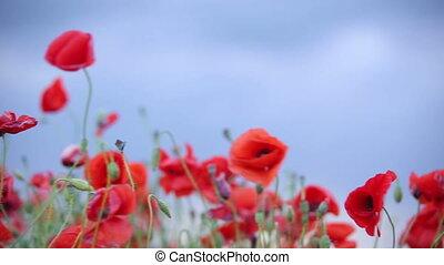 Poppies. Macro. Panorama