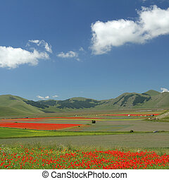 poppies meadow over Piano Grande (Great Plain) large plateau in the Sibillini mountains, famous for spectacular flowering of wildflowers in summer