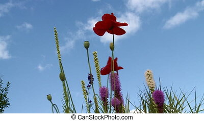 Poppies moving in the wind against blue sky. HD 1080i....