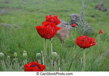 Poppies of Alborz mountains, Iran - Poppies of Alborz...