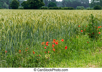 poppies on a background of field of barley