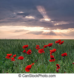 Poppies on a green field