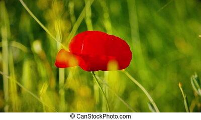 poppies on filed macro 4k