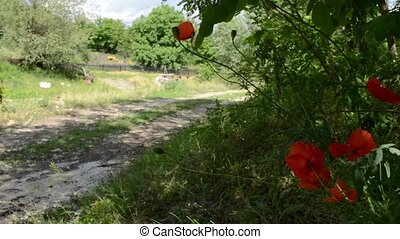 Poppies On Side of Country Road - Red poppies twist in wind...